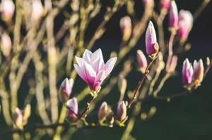 magnolia-791571_640